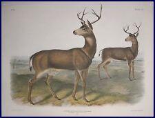 1847 Original Audubon Black Tailed Deer Imperial Folio Quadroped Excellent 106