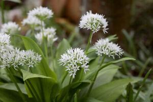 Wild Garlic SEEDS - Allium ursinum - Ransoms Garlic - Native wild Flower X 60