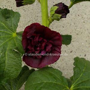 "Purpur-Rote Stockrose (Alcea rosea ""Chaters Purpur"") Pflanze im 9x9cmTopf"