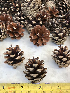 25 Small Pine Fir Cones Pinecone Crafts Christmas Wreath Wedding Table 3-4cm UK