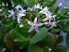 Jade Plant Seed Succulent Indoor/Outdoor/Bonsai Easily Grown Forgiving Plant