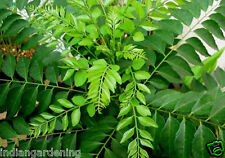 Live Curry Plant - Curry Leaves Plant - Sweet Neem Leaves Plant - 1 Plant in Pot
