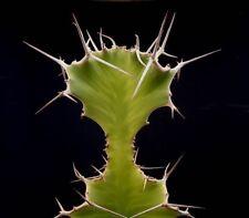 Euphorbia grandicornis - Cow's Horn - 10 Seeds