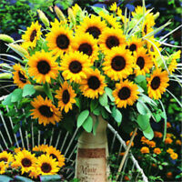 Ornamental 20 Dwarf Sunflower Flower Seeds Easy care Beautiful A033