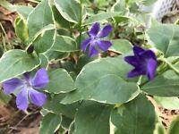 10  Variegated  Vinca  Periwinkle Trailing Vine Starter Plants Bare Root