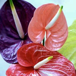 """Anthurium Anturios Ornamental Live Plant 10""""-18"""""""