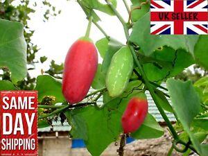 Ivy Gourd Seeds x10, Tindora, Scarlet Gourd  তেলাকুচি Bangladeshi