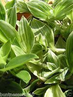 1 Steckling Dreimasterblume,Tradescantia fluminensis,wRio-Tradescantie albiflora