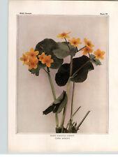1934 Wildflower Book Plate  Marigold Cowslip, Goldthread, Hispid Buttercup