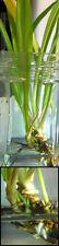 Gut vorbereitet und leicht zu pflanzen Spross der wilden Form der Spinne Pflanze