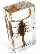 Real Insect Paperweight - Brown Scorpion