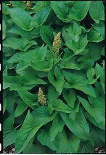 Herb - Good King Henry - Poor Man's Asparagus - 150 Seeds