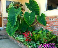 20 Home Ape Alocasia Giant Elephant Ear Taro Dishlia Seeds Garden Bonsai Plants