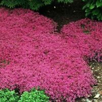 Creeping Thyme (Thymus Serpyllum) Magic Carpet- 25 seeds