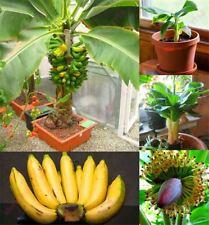 300 pcs Banana Seeds dwarf fruit trees Milk Taste Outdoor Perennial Fruit Seed F