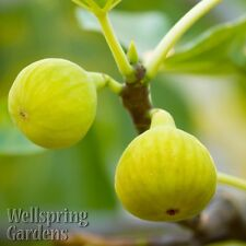 FIG FRUIT TREE Yellow Long Neck Common Edible Fig LIVE PLANT Ficus carica