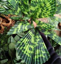 More details for licuala mapu fresh seed (uk stock) . rare variegated licuala mapu palm