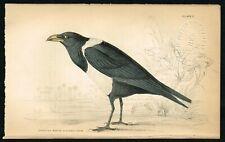 1840 Senegal White-Backed Crow Bird, Hand-Colored Antique Ornithology Print