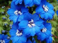 BLUE BIRD LARKSPUR Delphinium Consolida Ambigua, perennial, 25+ seeds