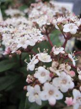 Viburnum tinus Ladybird - Lorbeer-Schneeball Ladybird