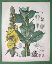 MEDICINAL FLOWER Common Mullein Verbascum - 1860 SUPERB Color Botanical Print