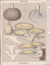 MUSHROOM PRINT. Edible Fungi Of New York. Circa 1900 ~Pleurotus Sapidus~