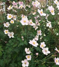 THREE PINK JAPANESE ANEMONE SEPTEMBER CHARM PLANT CUT BACK - ROOT TRANSPLANT NOW