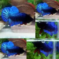 No.08 Blue Betta Fighter Plakat Male - IMPORT LIVE BETTA FISH FROM THAILAND