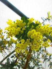 9ft-10ft Acacia dealbata - 40litre size, shipped at 9ft-10ft inc. pot