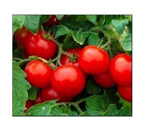 Cherry Tomato Seeds Large | NON-GMO |  Fresh Garden Seeds