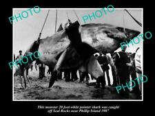 OLD 8x6 PHOTO OF HUGE GREAT WHITE SHARK CAUGHT OFF PHILLIP ISLAND VIC c1987