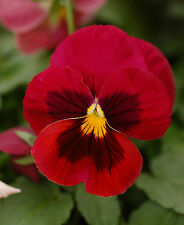 0.2g (appr. 200)  red blotch pansy seeds SWISS GIANTS SCARLET long blooming Big