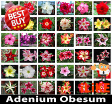 Adenium Obesum Desert Rose Mixed Varieties 500 Seeds Minimum Garden Flower.