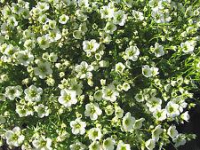 Moossteinbrech Saxifraga x arendsii Schneeteppich Flächendecker Frühlingsblüher