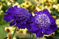 35+ DARK PURPLE PINCUSHION SCABIOSA FLOWER SEEDS / PERENNIAL