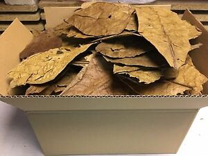 300 Gram unsorted B-Grade Indian Almond Catappa Leaves FREE SHIPPING - Shrimps..