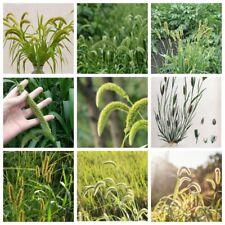 100Pc Setaria Viridis Seeds Plants Grass Nature Сereal Health Green Bristlegrass
