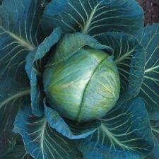 Légumes Choux F1 Stonehead 40 Graines