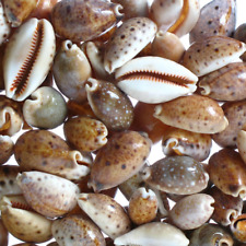 Assorted Lynx Cowries - (Gorgeous) Craft Shells, seashells, Hobby