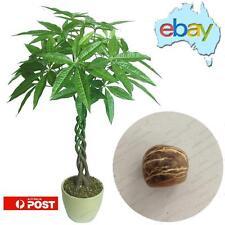 2 X BRAID PACHIRA AQUATICA - (MONEY TREE) SEED