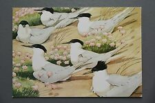 R&L Postcard: Sandwich Tern Colony, NW Cusa, Medici, Birds, 1980s
