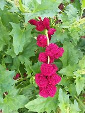 100+ STRAWBERRY STICKS SPINACH Chenopodium Foliosum Fruit Berry Seeds *Comb S/H