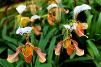 100Pcs Lady slipper Orchid Seeds Rare Beautiful Bonsai Plants in Home Garden