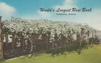 "Tombstone, AZ - ""World's Largest Rose Bush"" - Broad View"