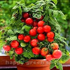 VEGETABLE - BUSHY CHERRY TOMATO - MINIBEL - 60 SEEDS Tomato for hanging baskets