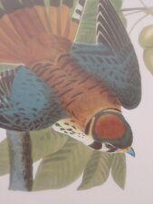 American Sparrow Hawk Kestrel Bird Audubon Print Picture Poster Art