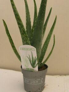 """1 x SMALL ALOE VERA MEDICINAL PLANTS 10.5 cm POTS  """"GREAT VALUE"""""""