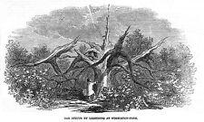 Londra OAK TREE colpiti da un fulmine a Wimbledon PARK-antica stampa 1847