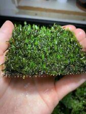 Fissidens Nobilis Moss Easy Live Aquarium Plants Aquatic Plants Aquarium Moss ✅