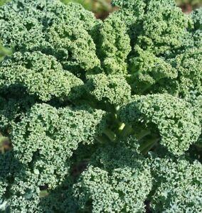 Kale (Borcole) 'Vates Blue Curled'- Vegetable Plants (6 or12 plugs)